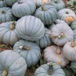 Batch of Blue Pumpkins