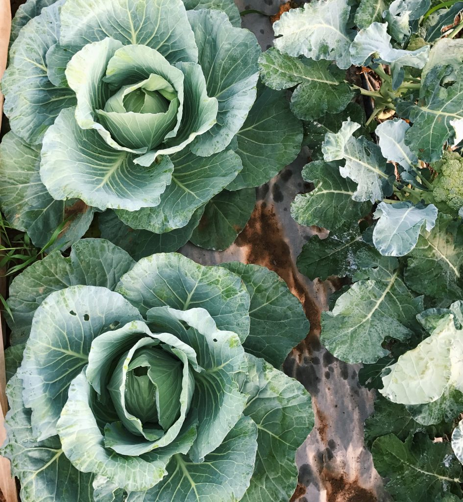 Cabbage heads growing in the garden.