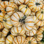 Batch of With Pumpkins with Orange Stripes